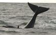 Orcas versus humpbacks