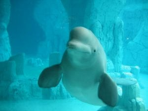Canada to move two captive belugas to theme park in Spain