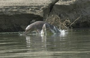 WDC to help Nepal's river dolphins now on the brink of extinction