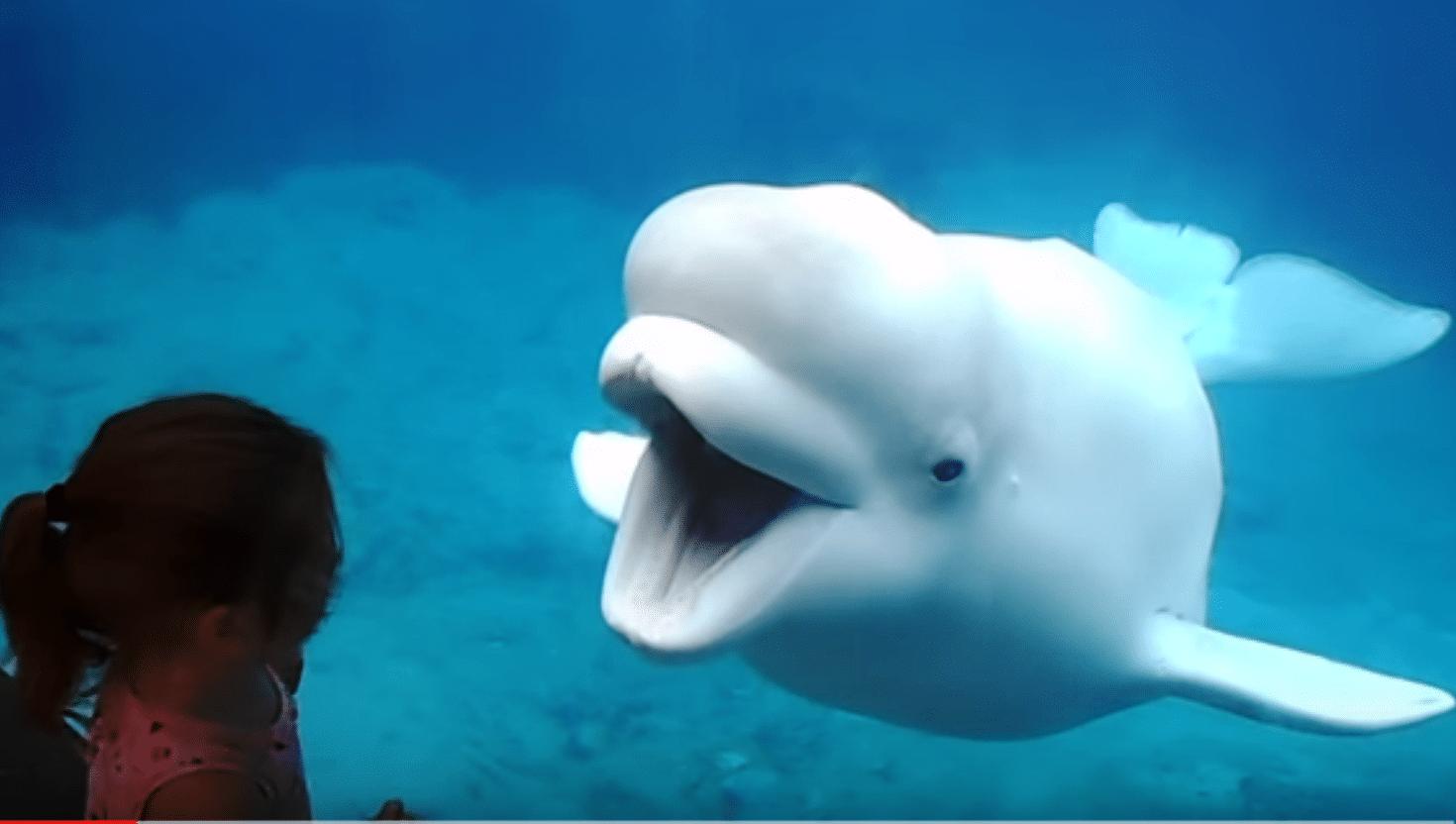 beluga_mystic_aquarium