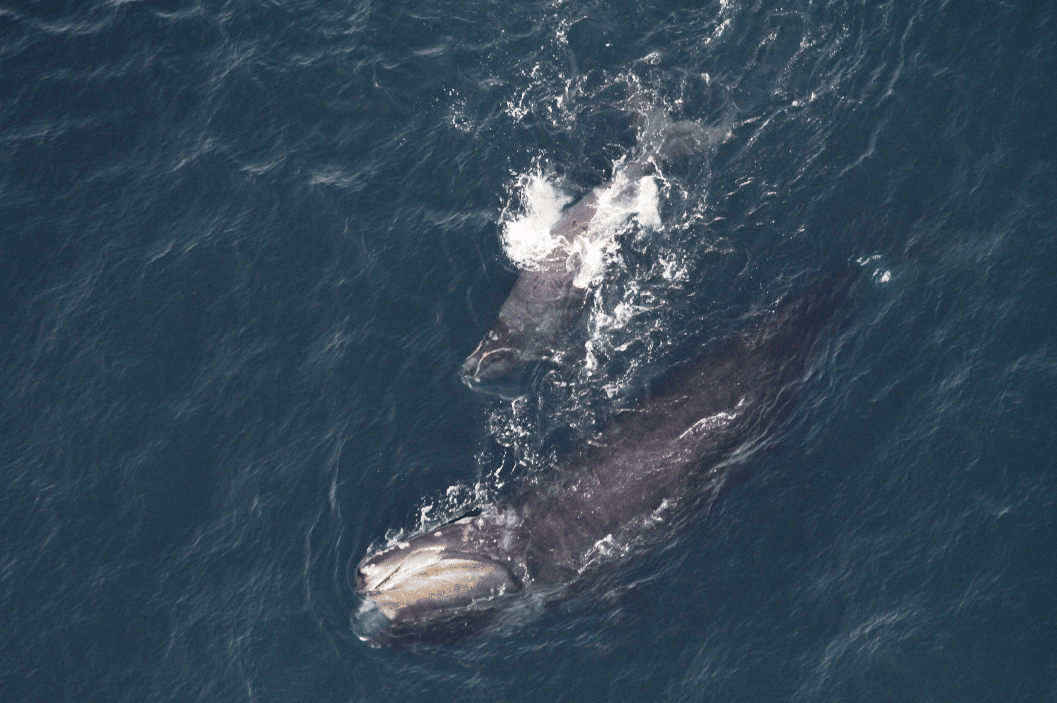narw_mother_and_calf_noaa_permit_1058-1733-01