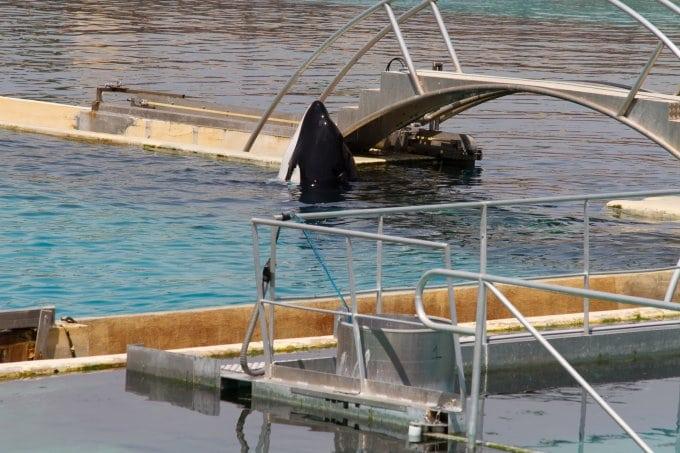 Valentin - orca held at Marineland Antibes, France