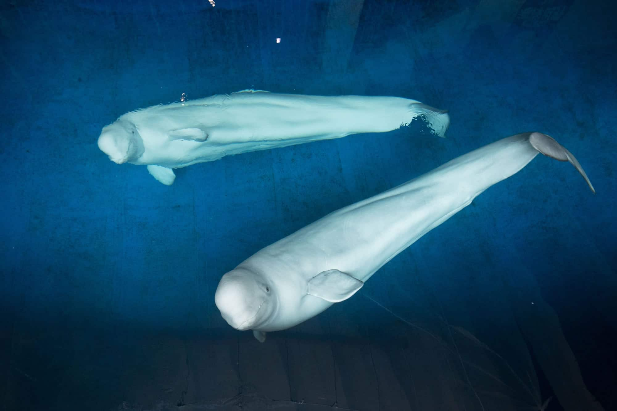 Beluga whales - Little Grey and Little White