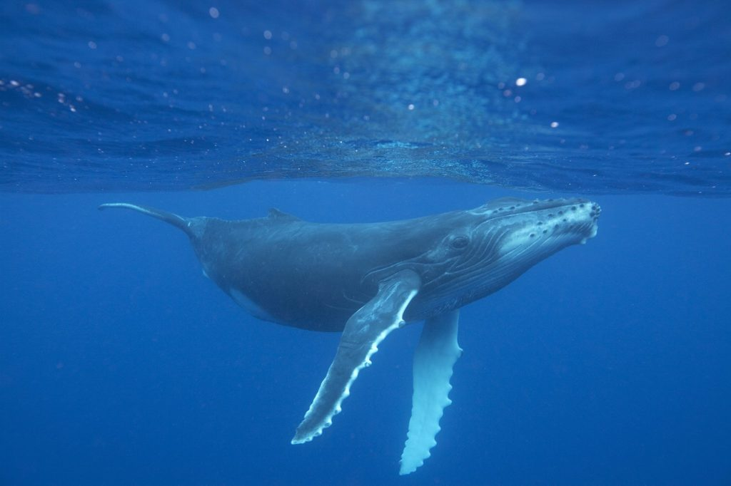 Humpback whale near the surface of the water