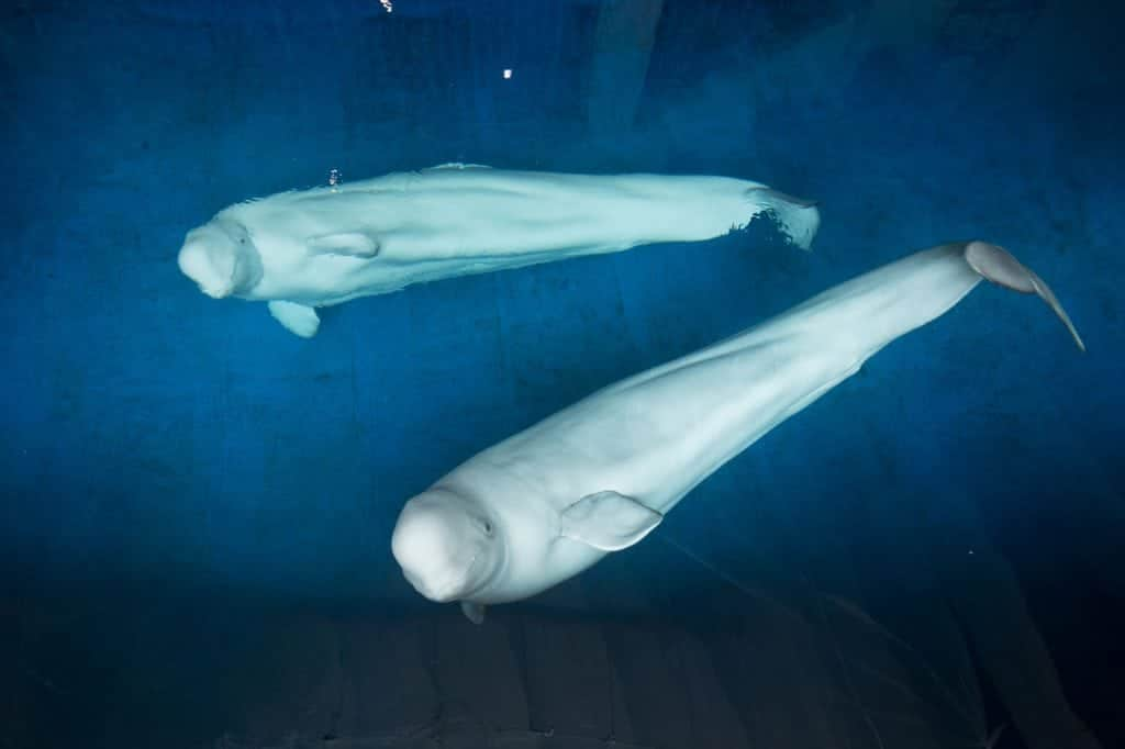 two beluga whales floating on their backs