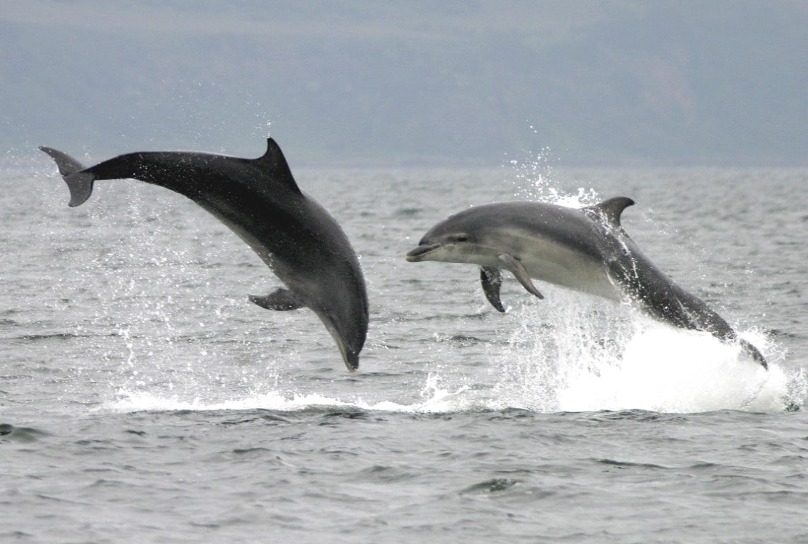two bottlenose dolphins jumping out of the water in opposite directions