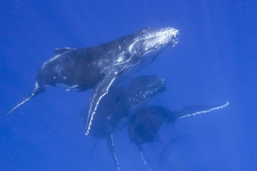 Humpback whale group swimming underwater