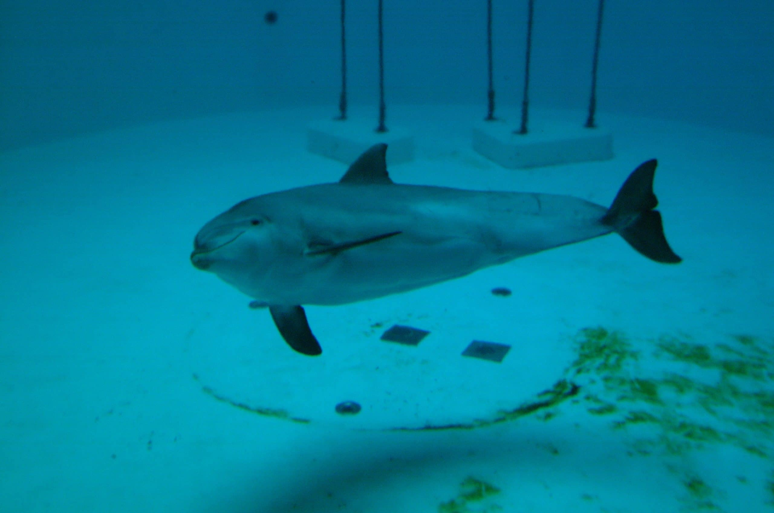 bottlenose dolphin swimming at the bottom of a tank in captivity