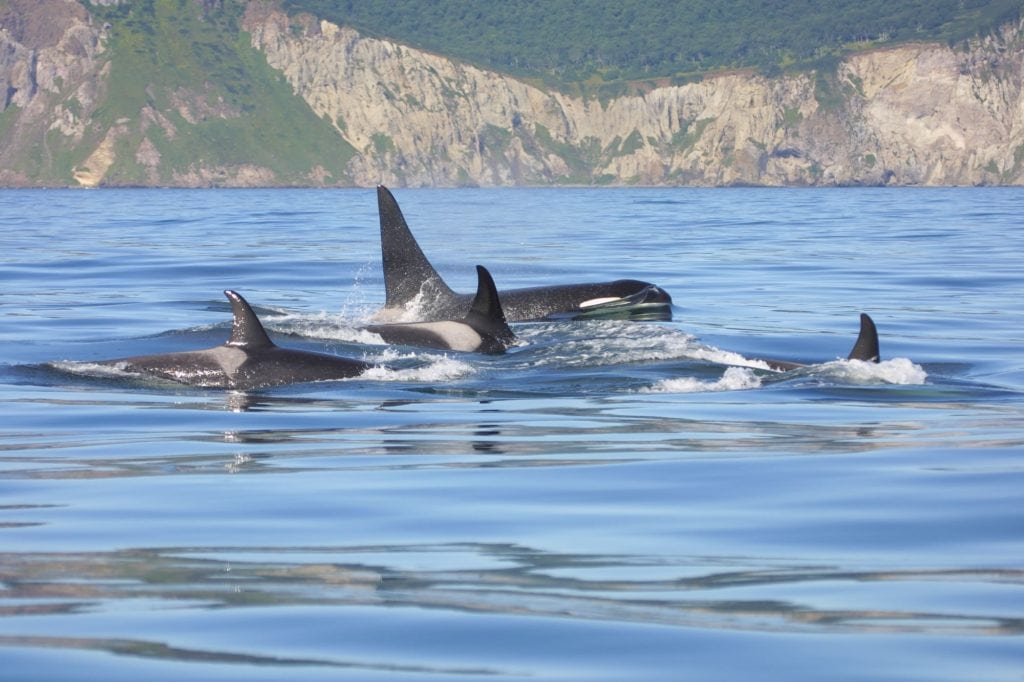 group of Orcas at surface