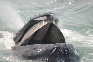 Humpback whale pepper's head sticking out of the water with mouth open