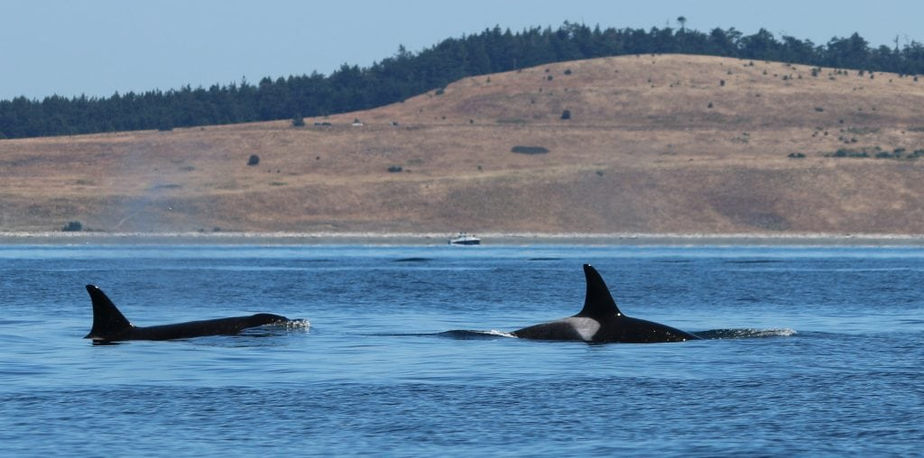 Canada approves pipeline despite concerns for Southern Resident orcas