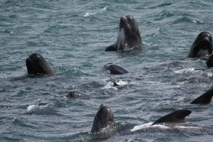 Mass stranding of pilot whales in Tasmania