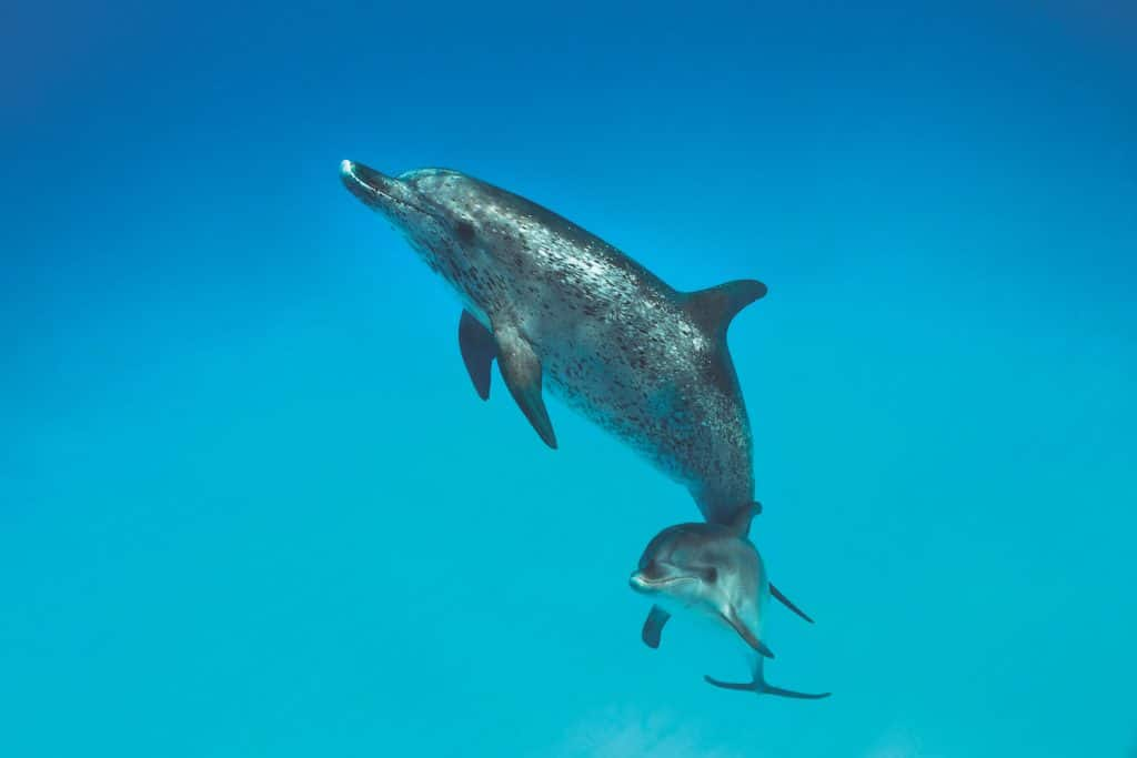 spotted-dolphins-gary-bell-oceanwide