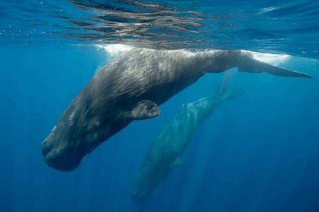diving-sperm-whale-sri-lanka_0