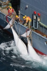 Japan is leaving the Whaling Commission to start commercial whaling – and it is a big deal