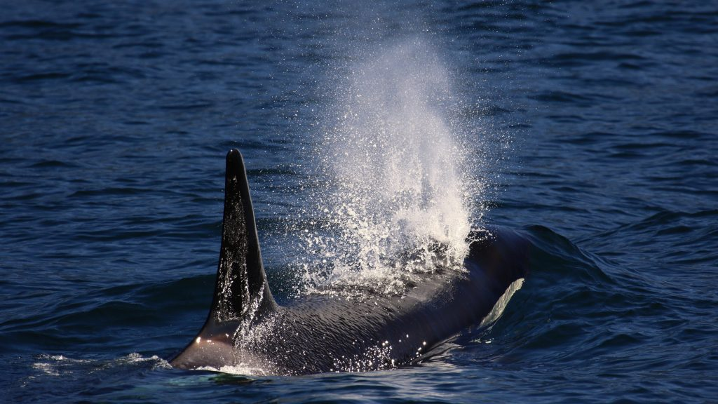 Orca blowing air out of blowhole at surface