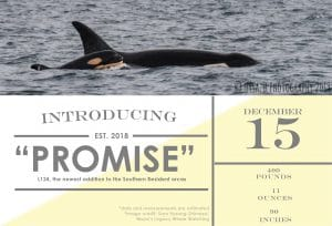 New Southern Resident orca calf!