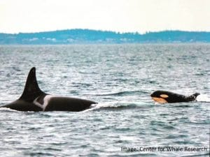 The Road ahead for L124: Reality sets in for new Southern Resident orca