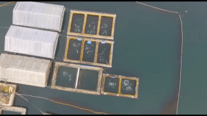 Orcas held in Russian whale jail face threat from ice