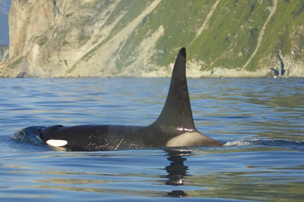Male orca swimming off Kamchatka
