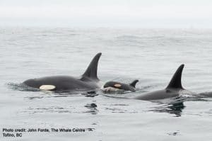 New calf seen in endangered Southern Resident orca community!!