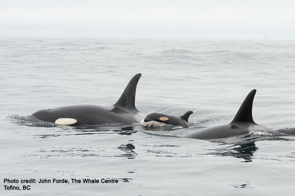 SRO J56 5.30.2019 (John Forde The Whale Centre Tofino, BC)