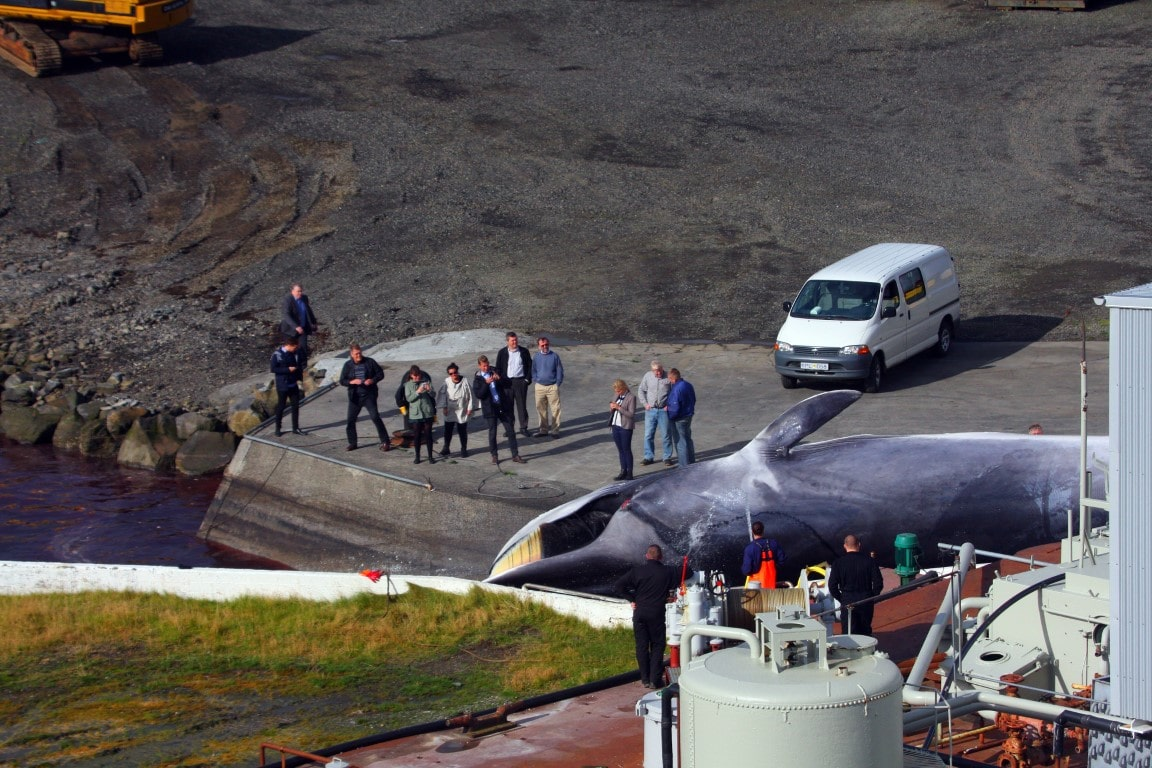 Iceland whaling news item