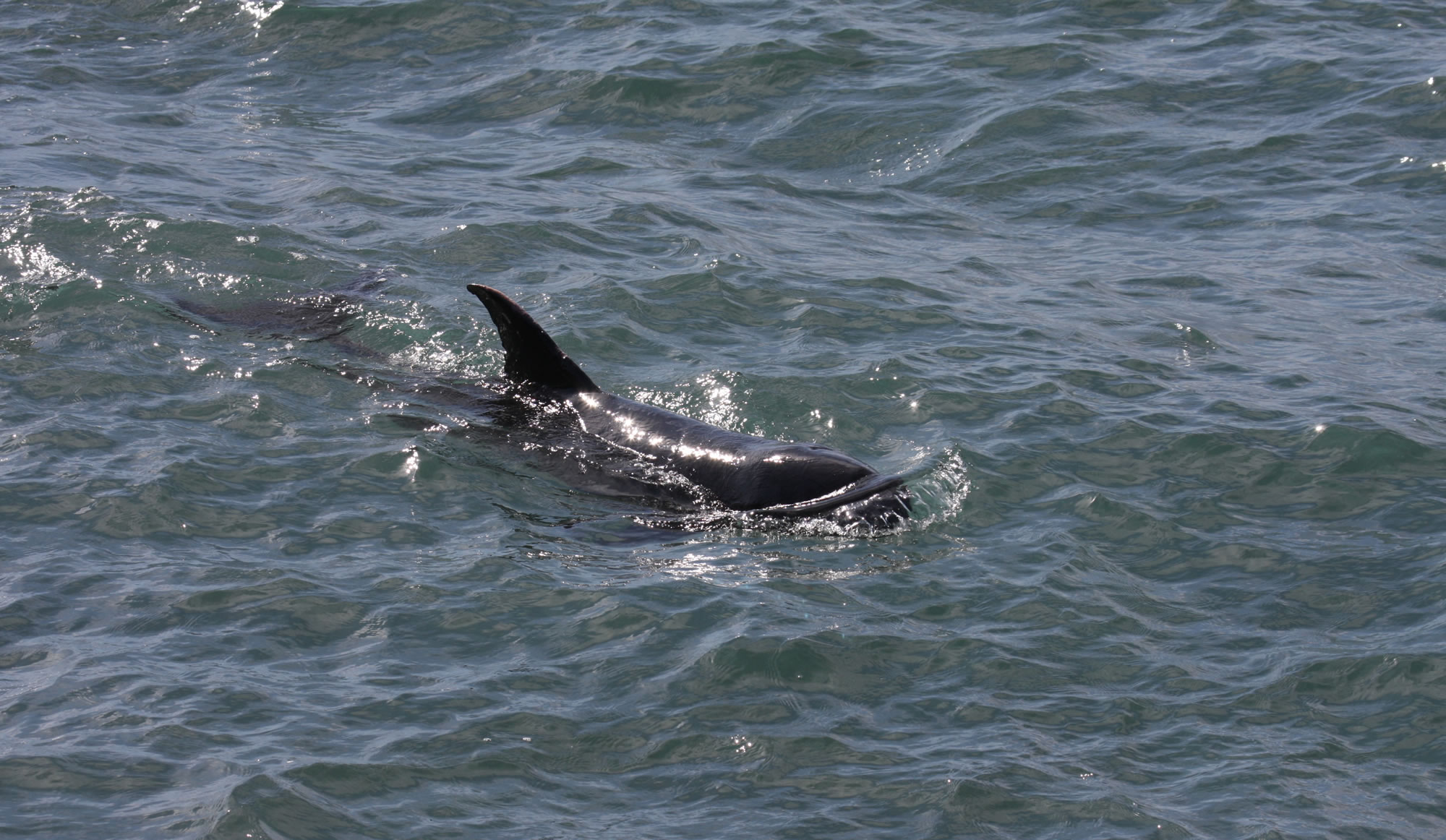 Pygmy killer whale - Whale & Dolphin Conservation USA