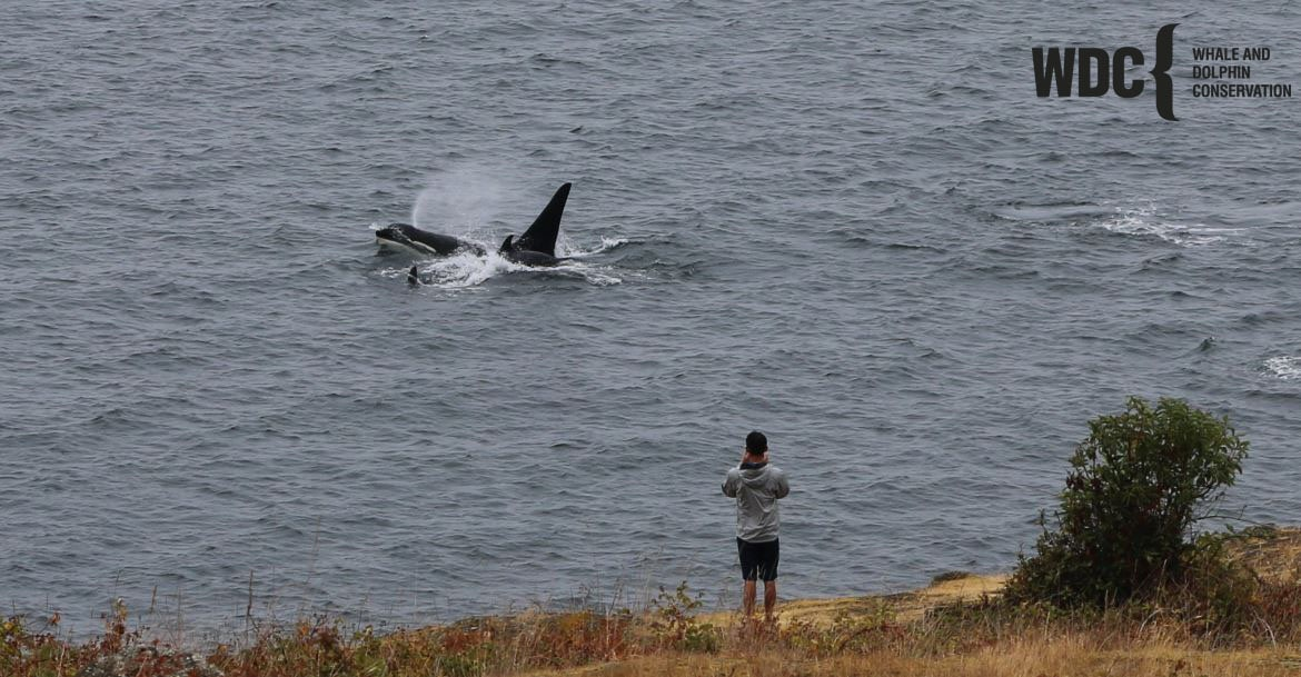 A close pass by Southern Resident orcas on the west side of San Juan Island