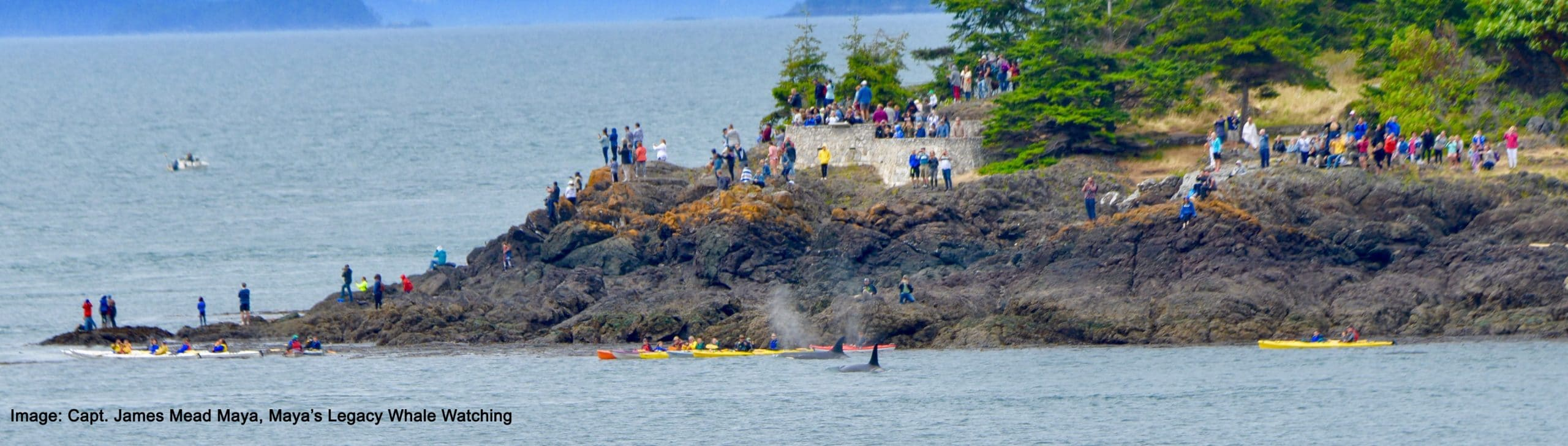 Lime Kiln/Whale Watch Park Southern Resident orcas