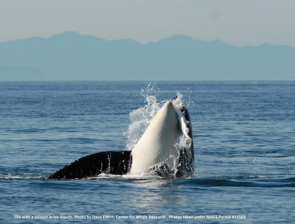 Southern Resident orca L84