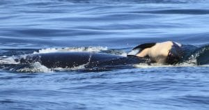 Tahlequah carrying her calf