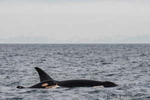 New Southern Resident orca calf