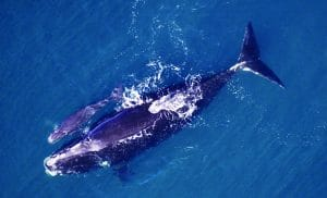 Senate Leaders Introduce Bipartisan Bill to Save the North Atlantic Right Whale