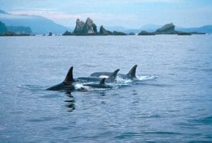 5 Year Fight for Critical Habitat for Southern Resident orcas