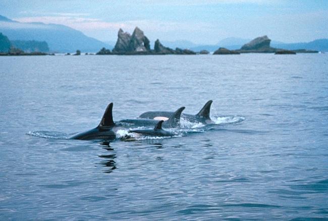 Orcas off the Olympic Coast