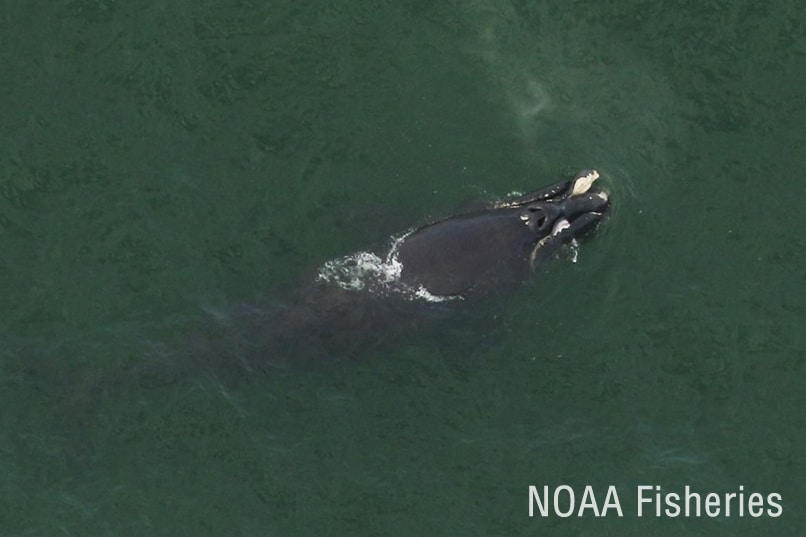 right whale calf injury_NOAA Fisheries_zoomed
