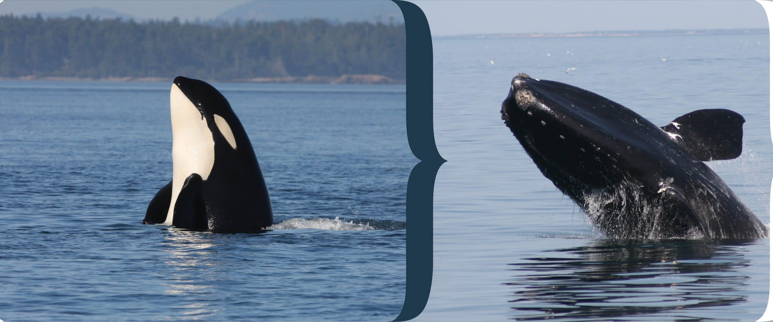 right whale orca