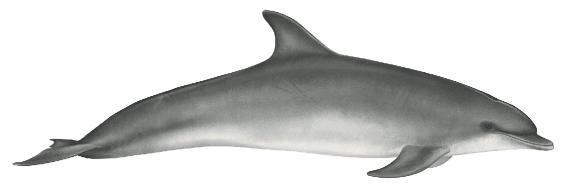 Bottlenose dolphin - 12 ft. (3.7m)