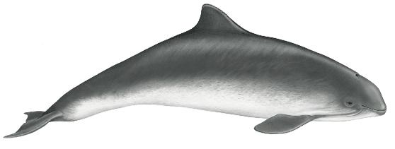 Harbor porpoise - 5 ft. (1.5m)