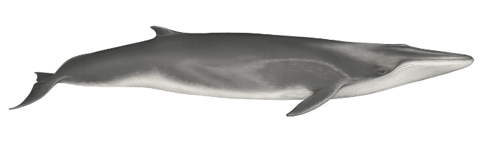 Fin whale - 70 ft. (21.3m)