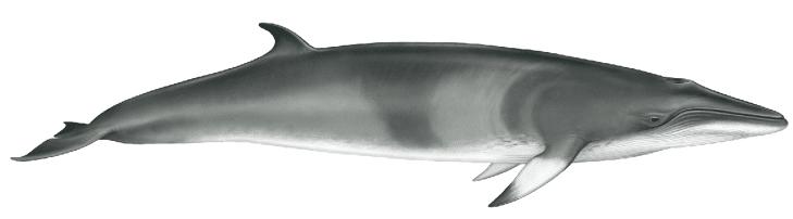 Minke whale - 26 ft. (8m)