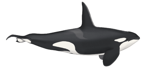 Orca - 24 ft. (7.3m)