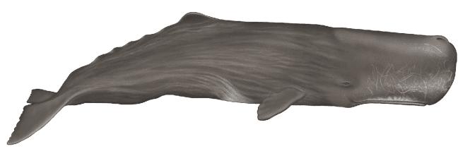 Sperm whale - 45 ft. (13.7m)