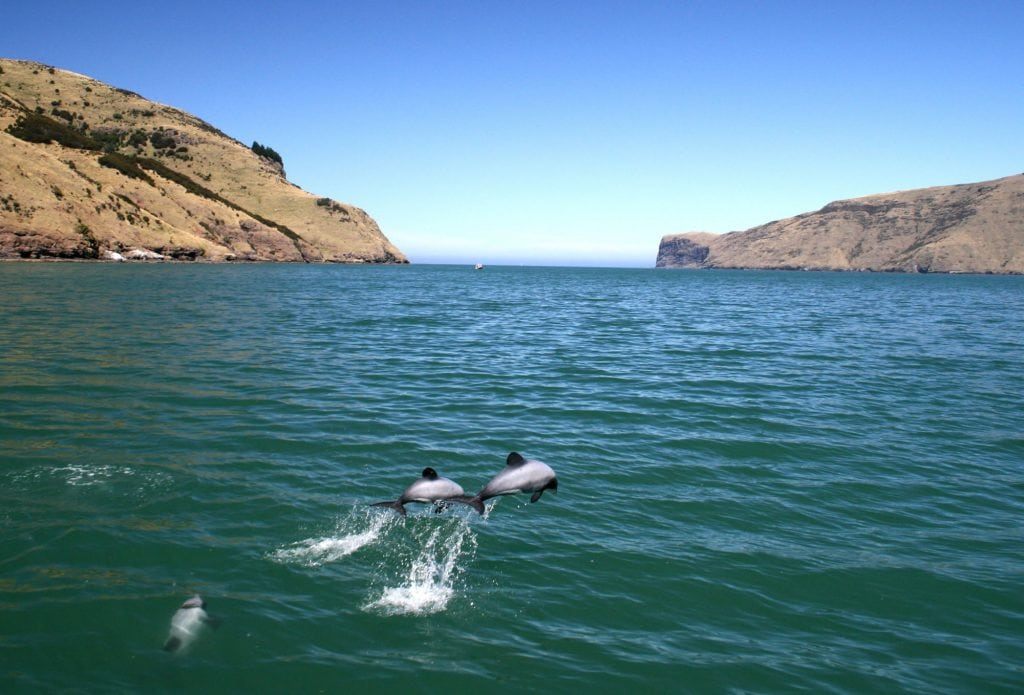 Two beautiful Hector's dolphins leap just off new Zealand's coast. © Mike Bossley