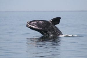 Vessel Speed Limits Sought to Protect Endangered North Atlantic Right Whales