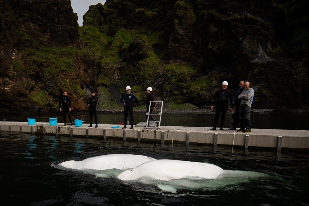Beluga whales in sanctuary.