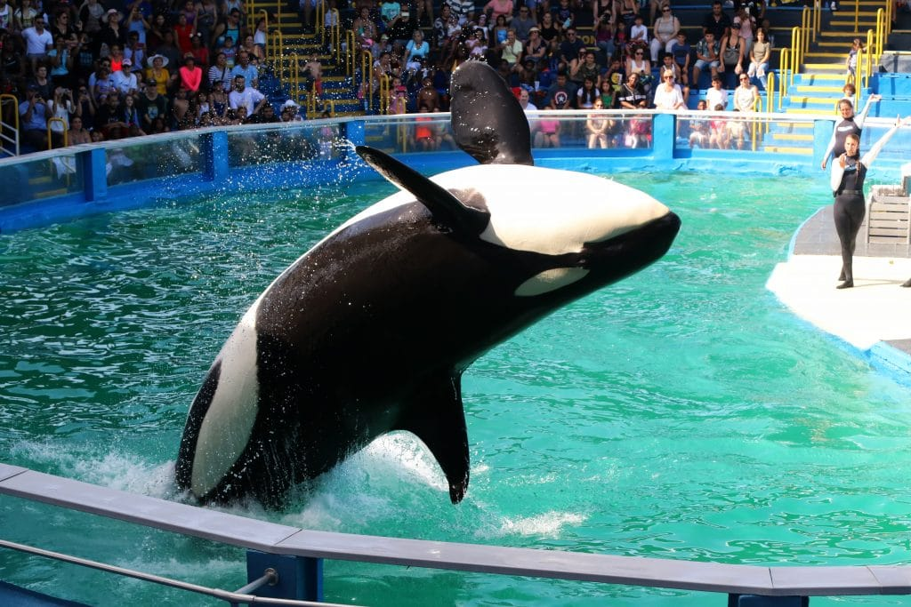 Tokitae breaching at Miami Seaworld
