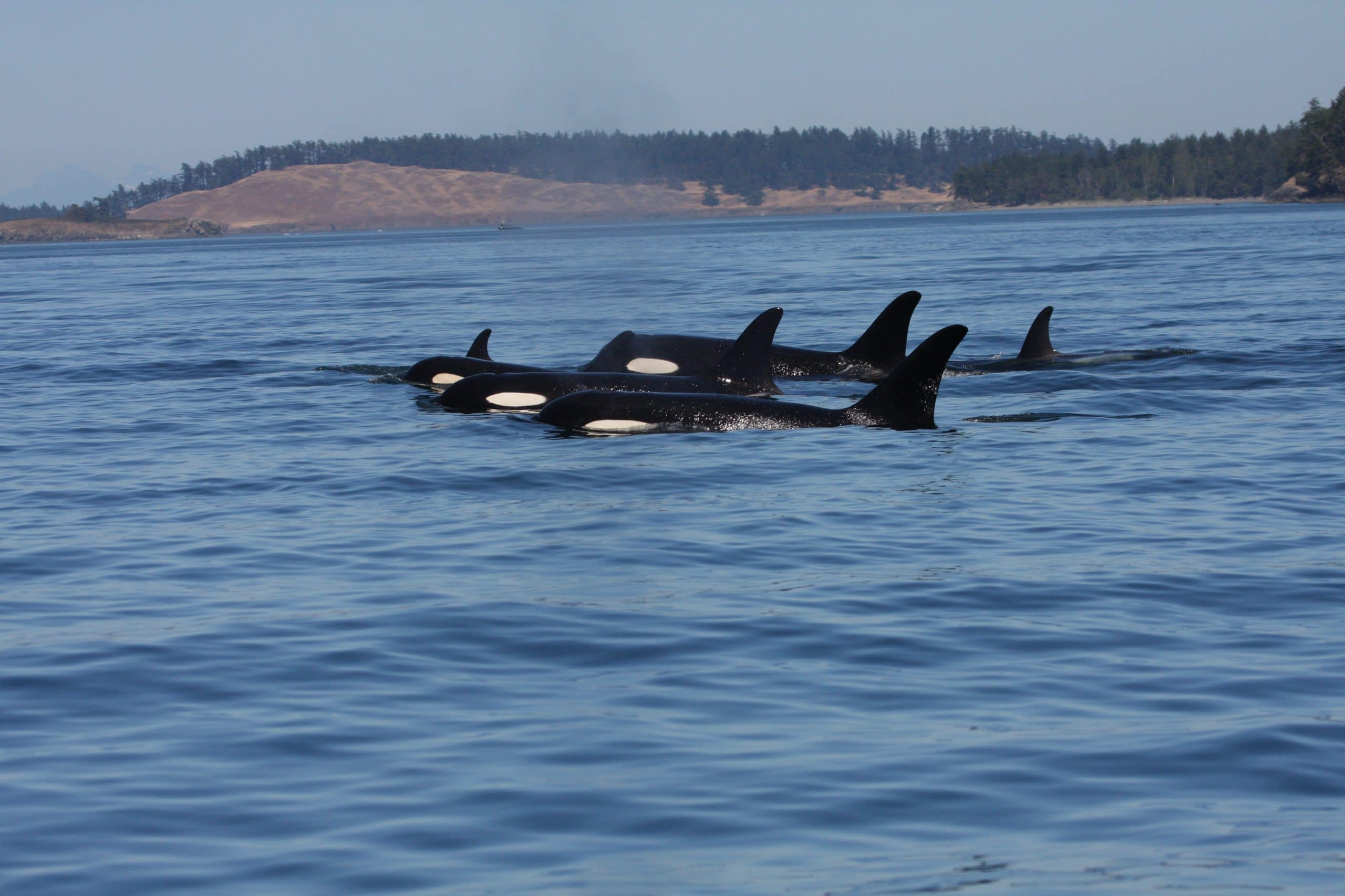 A group of Southern Resident orcas
