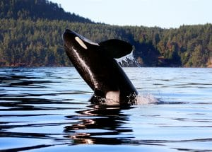 Why do female orcas live so long after they stop having babies?